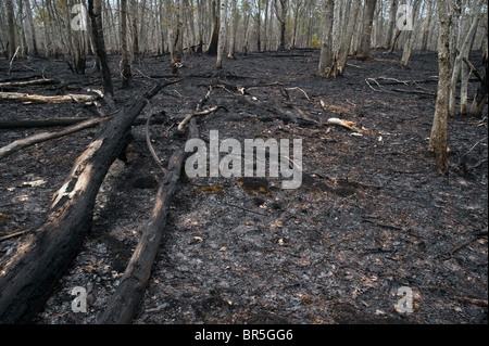 Aftermath of controlled burn Huron-Manistee National Forest Michigan USA - Stock Photo