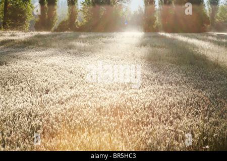 Sunlight and shadows on corn field, Dordogne; France - Stock Photo