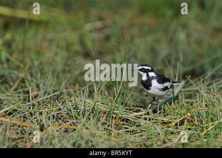 African pied wagtail (Motacilla aguimp) standing on the ground - Crater Lake - Kenya - Stock Photo