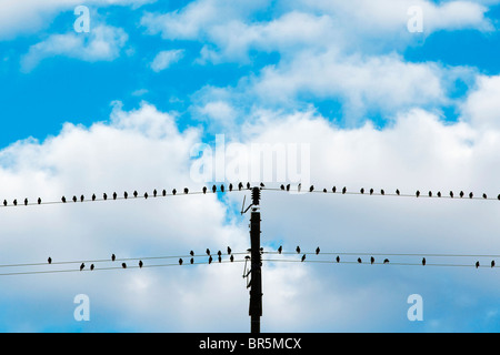 birds sitting on electricity wires - blue sky and white clouds - Stock Photo
