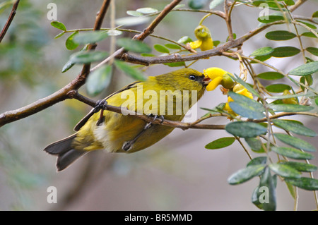 Yellow Hawaiian honeycreeper extracting nectar from tree flowers in Maui, Hawaii Islands, Hawaii, USA. - Stock Photo