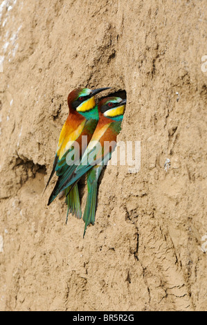 European Bee-eater (Merops apiaster) pair perched on sand bank at nest hole, Bulgaria - Stock Photo