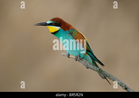 European Bee-eater (Merops apiaster) perched on twig, calling, Bulgaria - Stock Photo