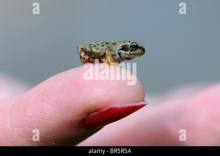 Common Frog (Rana temporaria) small froglet sitting on human finger, Oxfordshire, UK - Stock Photo