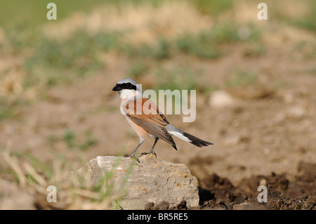 Red-backed Shrike (Lanius collurio) male perched on rock, Bulgaria - Stock Photo