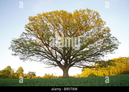 Big, old oak tree (common oak, English oak, Quercus robur) at sundown in the spring with fresh green leaves in a - Stock Photo