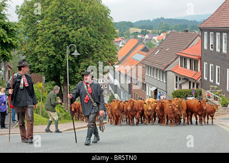cattle being driven through town during the traditional Wiesenbluetenfest, St Andreasberg, Harz Mountains, Lower - Stock Photo