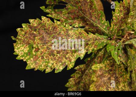 Oak leaf phylloxera (Phylloxera glabra) damage to oak tree leaves - Stock Photo