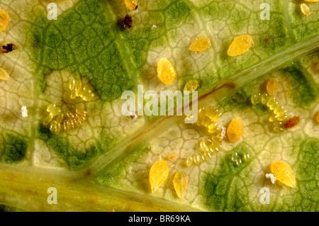 Oak leaf phylloxera (Phylloxera glabra) females, eggs and damage to oak tree leaves - Stock Photo
