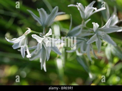 Drooping Star-of-Bethlehem Flowers, Ornithogalum nutans, Hyacinthaceae, Europe and North America. - Stock Photo