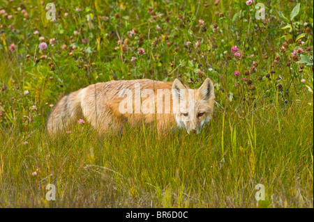 A young red fox standing at the edge of a wild meadow - Stock Photo