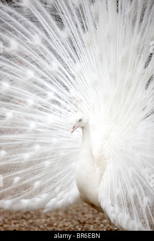 white peacock - Stock Photo