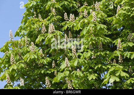 Horse chestnut tree in blossom in the Cotswold village of Laverton, Gloucestershire - Stock Photo