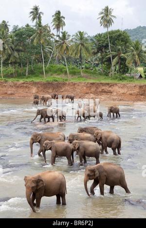 A herd of elephants crossing a shallow river near The Pinnawela Elephant Orphanage in Sri Lanka - Stock Photo