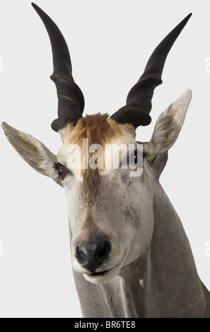 An impressive common eland hunting trophy, South West Africa, 20th century. A taxidermically preserved head of a - Stock Photo