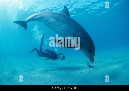 Diver films bottlenose dolphin playing with octopus. Egypt, Red Sea - Stock Photo