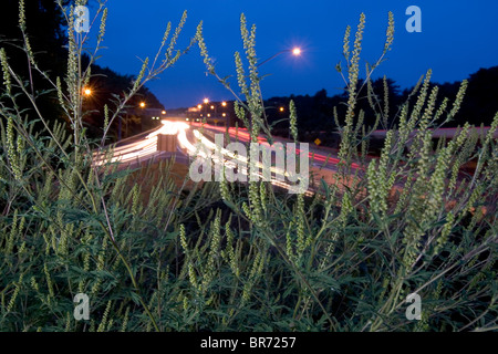 A ragweed plant grows along the Washington Beltway in DC. - Stock Photo