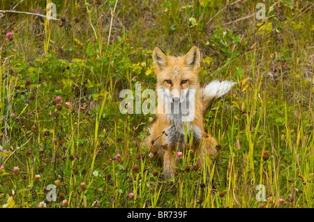 A young red fox sitting in the tall grass looking forward. - Stock Photo