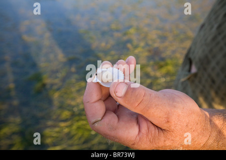 Human hand holding onto a freshly opened Sea Scallop in the Gulf of Mexico - Stock Photo