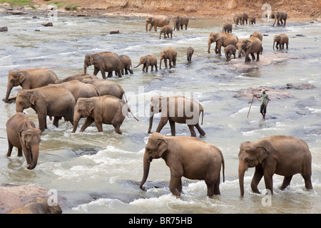 A herd of elephants crossing a shallow river near The Pinnawela Elephant Orphanage in Sri Lanka - Stock Photo