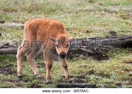 Baby Bison Calf, Yellowstone National Park, Wyoming - Stock Photo