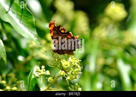 Comma butterfly, Polygonia  c-album, on Ivy flower , Hedera helix. - Stock Photo
