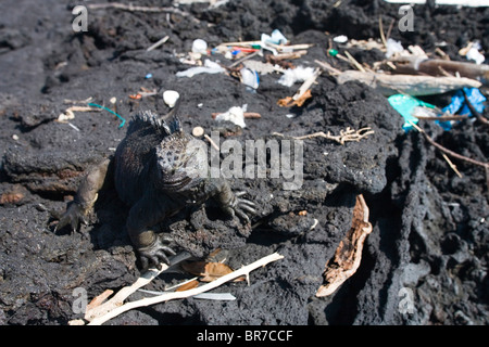 A marine iguana one of the Galapagos' most iconic species wanders through trash that has drifted onto the shore - Stock Photo