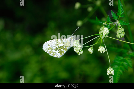 Orange Tip Butterfly (Anthocharis cardamines) female - underwing (Slovenia, August). - Stock Photo