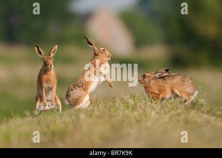 European Hare (Lepus europaeus) adults, boxing on farmland, Norfolk, UK. - Stock Photo