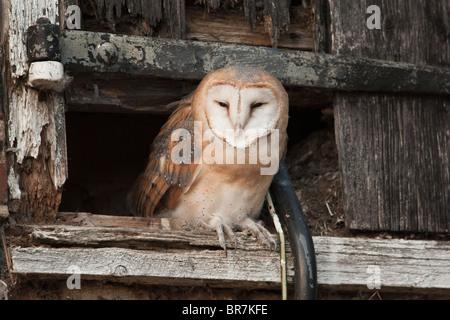 Barn Owl (Tyto Alba) juvenile about to fledge from hay-loft door in barn, Norfolk, UK. - Stock Photo