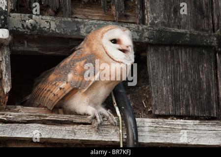... Barn Owl (Tyto Alba) juvenile about to fledge from hay-loft door in & Hay Loft door in Barn Stock Photo Royalty Free Image: 41300607 ... pezcame.com