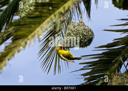 Weaver bird building nest in palm tree, South Africa - Stock Photo