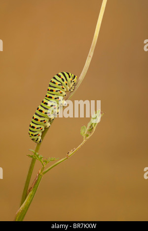 Common Swallowtail (Papilio machaon britannicus) caterpillar, feeding on Milk Parsley, The Broads N.P., Norfolk, - Stock Photo