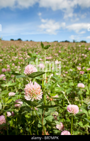 Red Clover Crop; Townshend; Cornwall - Stock Photo