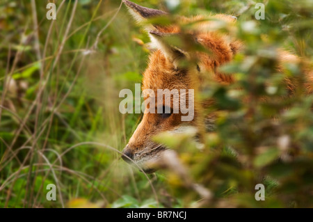 Well grown Red Fox cub in deep cover in Warwickshire countryside - Stock Photo