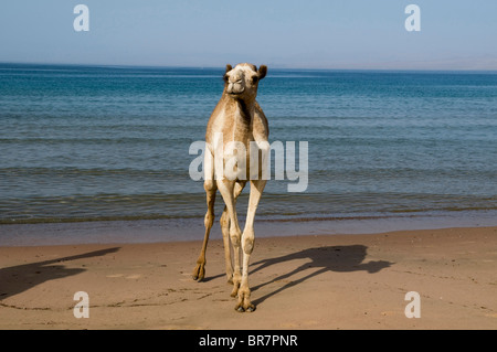 camel walking along the beach next to the Red Sea in the Sinai Desert of Egypt - Stock Photo
