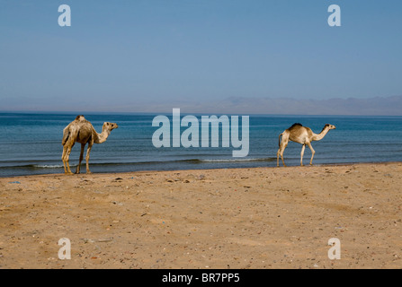 camels walking along the beach next to the Red Sea in the Sinai Desert of Egypt - Stock Photo