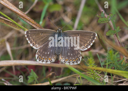 Chalkhill Blue Polyommatus coridon female perched on grass stem at Aston Rowant, Oxfordshire in August. - Stock Photo