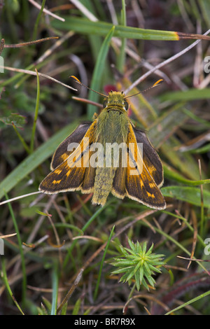 Silver-spotted Skipper Hesperia comma basking on the ground at Aston Rowant, Oxfordshire in August. - Stock Photo