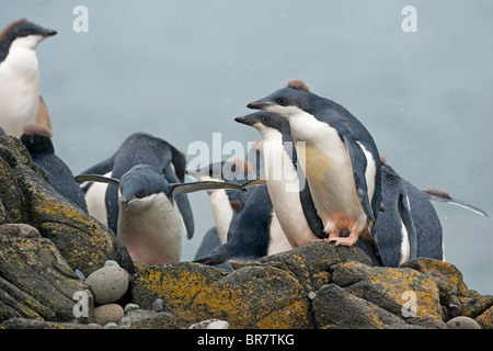 adelie penguin (Pygoscelis adeliae) group of chicks in creche, standing on rocks, Antarctic peninsula, Antarctica - Stock Photo