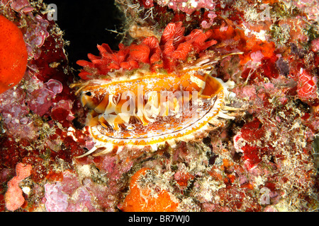 Spondylus or Giant Thorny Oyster shell, Spondylus varius, showing the mantle. Previously known as Spondylus varians. - Stock Photo