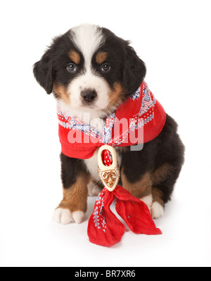 7 weeks old Bernese mountain dog wearing a red peasant scarf - Stock Photo