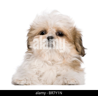 Shih Tzu puppy, 3 months old, lying in front of white background - Stock Photo