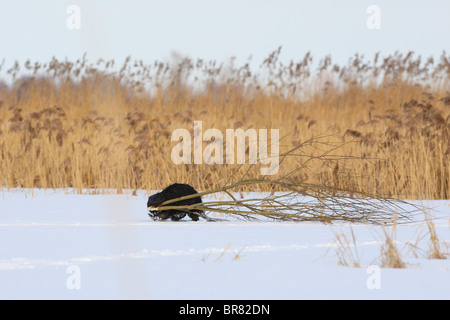 Eurasian beaver (Castor fiber) carrying food, willow branches. March - Stock Photo