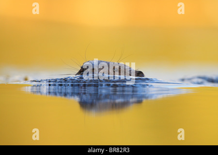 Wild Eurasian beaver (Castor fiber) swimming in the water. - Stock Photo