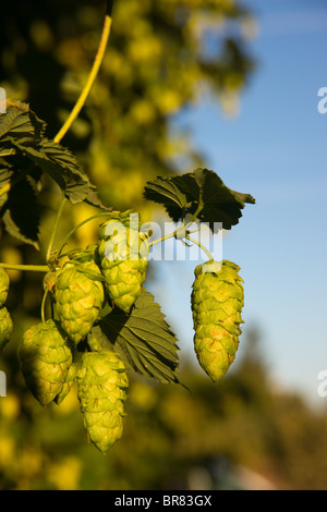 Hops growing on the vine in the field - Stock Photo