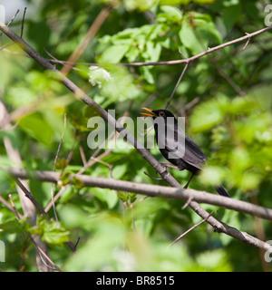 The male of a blackbird sings a spring song. A voice of a bird. - Stock Photo