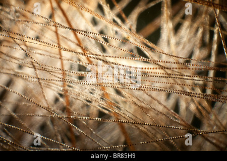 Darkfield photomicrograph, hair of house mouse (Mus musculus) - Stock Photo