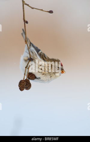 Common Redpoll (Carduelis flammea) haning on Alder tree branch in winter. - Stock Photo
