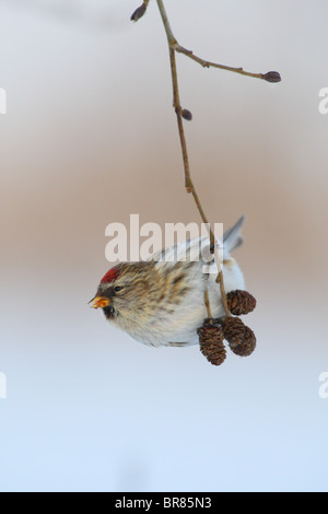 Common Redpoll (Carduelis flammea) hanging on Alder tree branch in winter. - Stock Photo